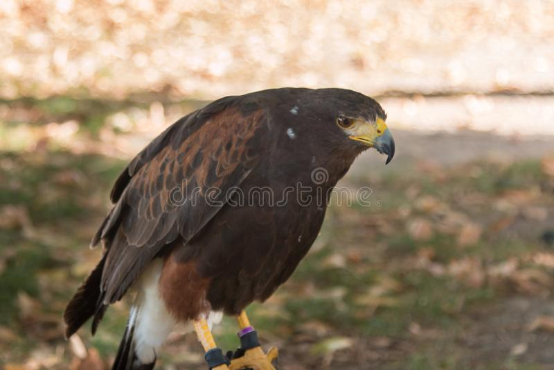 Falco di Brown: gli animali più veloci nel mondo fotografie stock