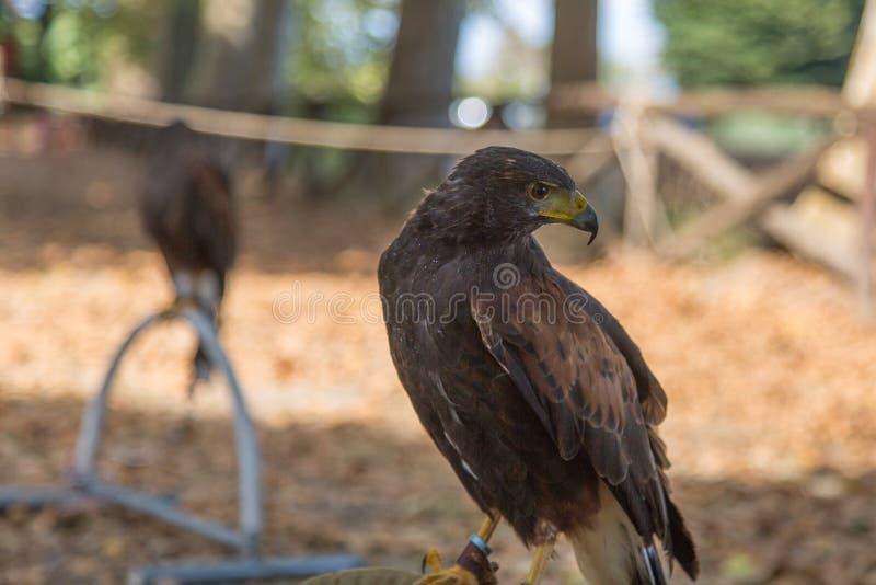 Falco di Brown: gli animali più veloci nel mondo fotografia stock