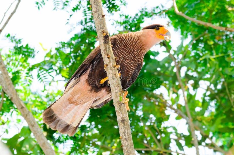 Falco di Carcara con le piume marroni e bianche su un ramo di albero fotografie stock libere da diritti