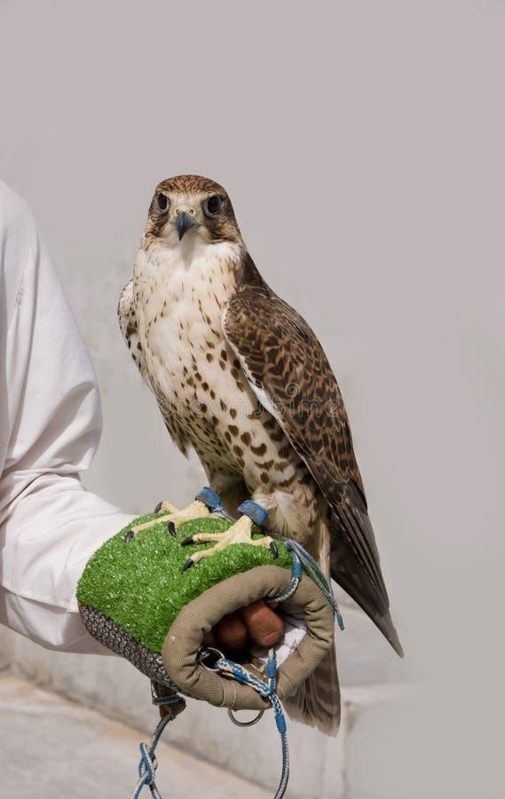Falco di Display_Arabian del falco fotografie stock