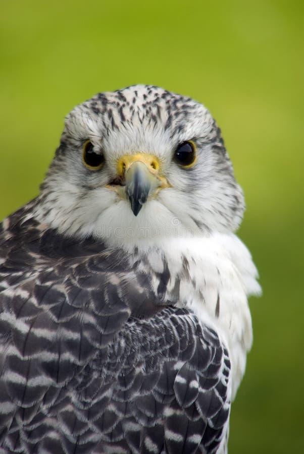 Falco di Gyr x Saker immagine stock libera da diritti