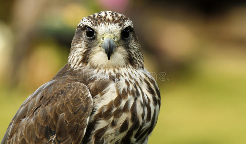 Falco di Gyr Saker fotografie stock libere da diritti