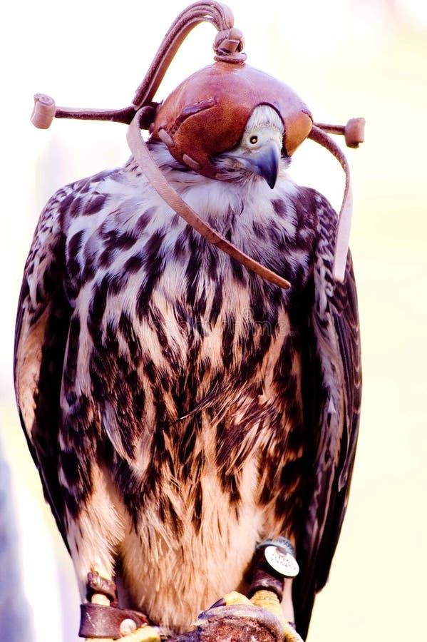 Falco di Lannar immagine stock