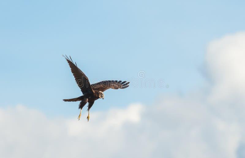 Falco di palude (aeruginosus del circo) imagen de archivo