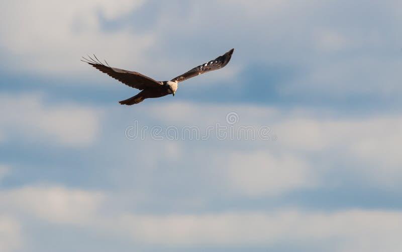 Falco di palude (cirkusaeruginosusen) royaltyfri foto