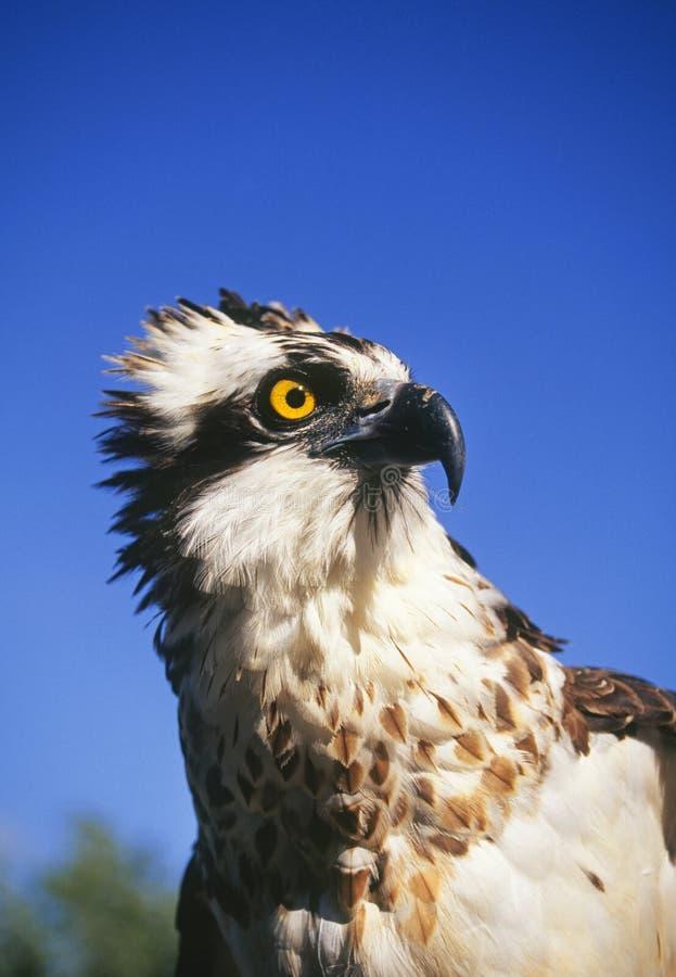 Falco di pesci o del Osprey fotografia stock
