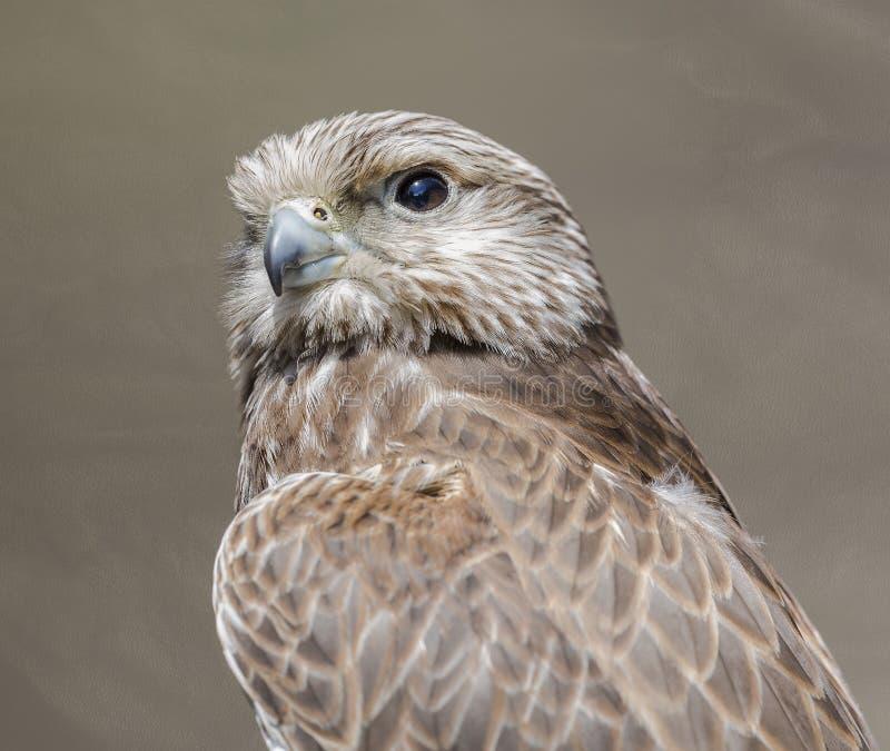 Falco di Saker immagine stock