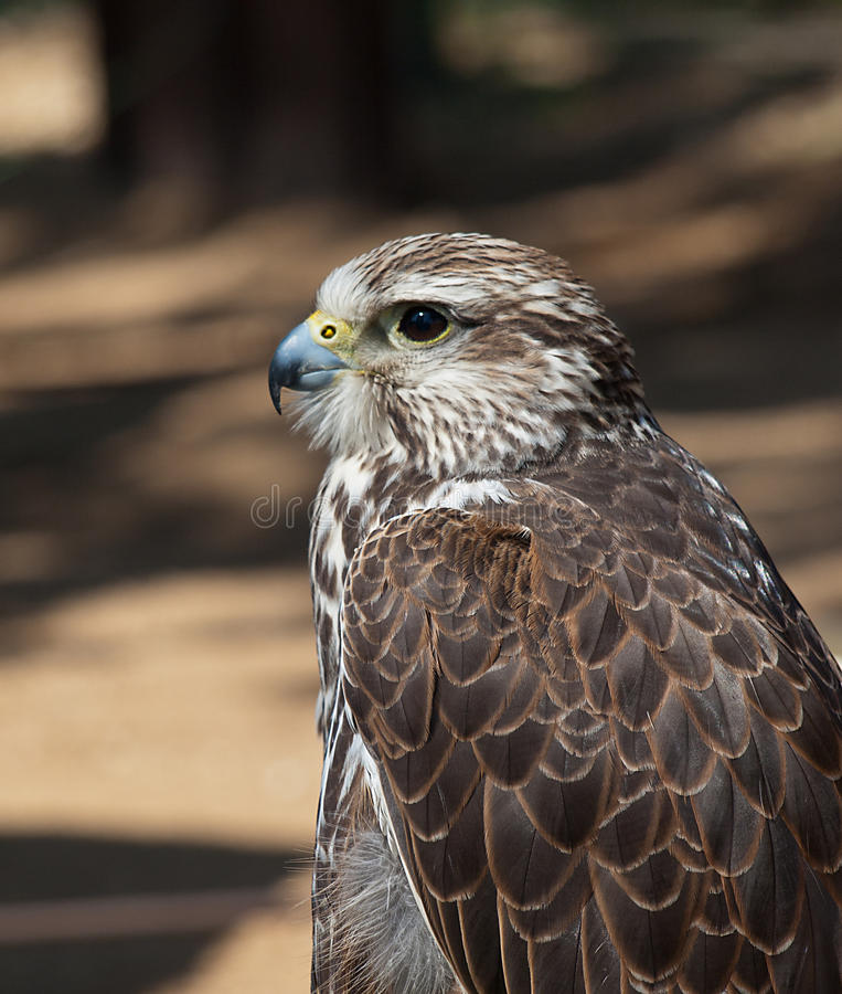 Falco di Saker fotografia stock