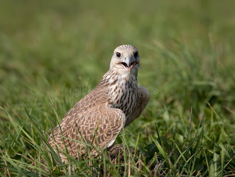 Falco di Saker in erba fotografia stock libera da diritti
