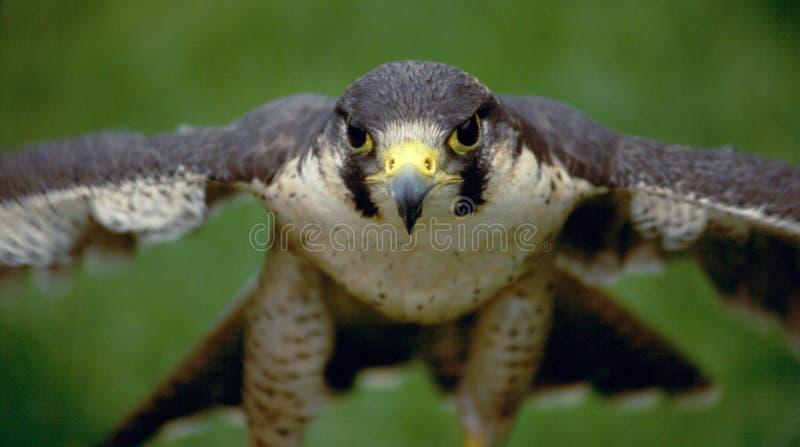 Falco di straniero