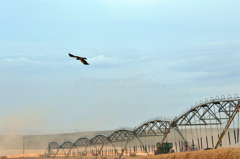 Falco e associazione durante il raccolto del grano fotografia stock