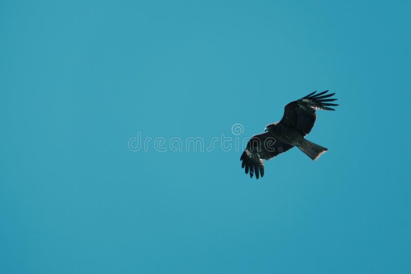 Falco e cielo blu di Brown fotografia stock