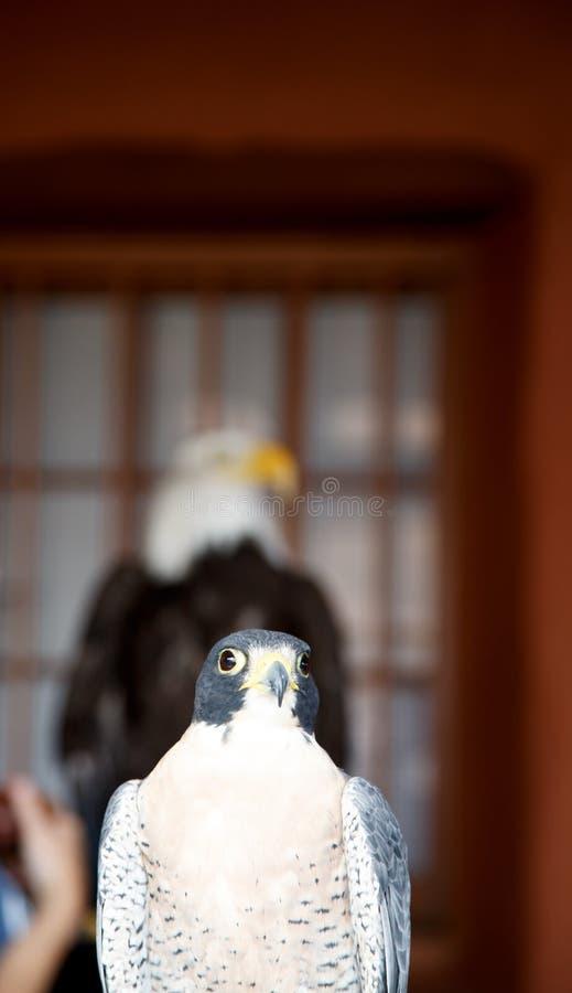 Falco e Eagle fotografia stock
