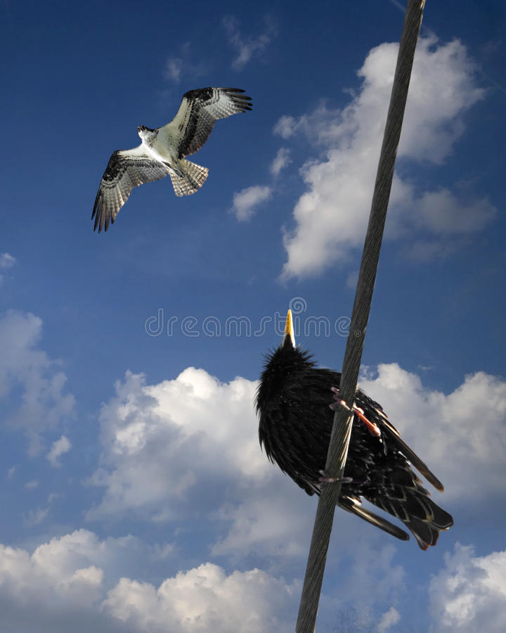 Falco e merlo fotografie stock libere da diritti