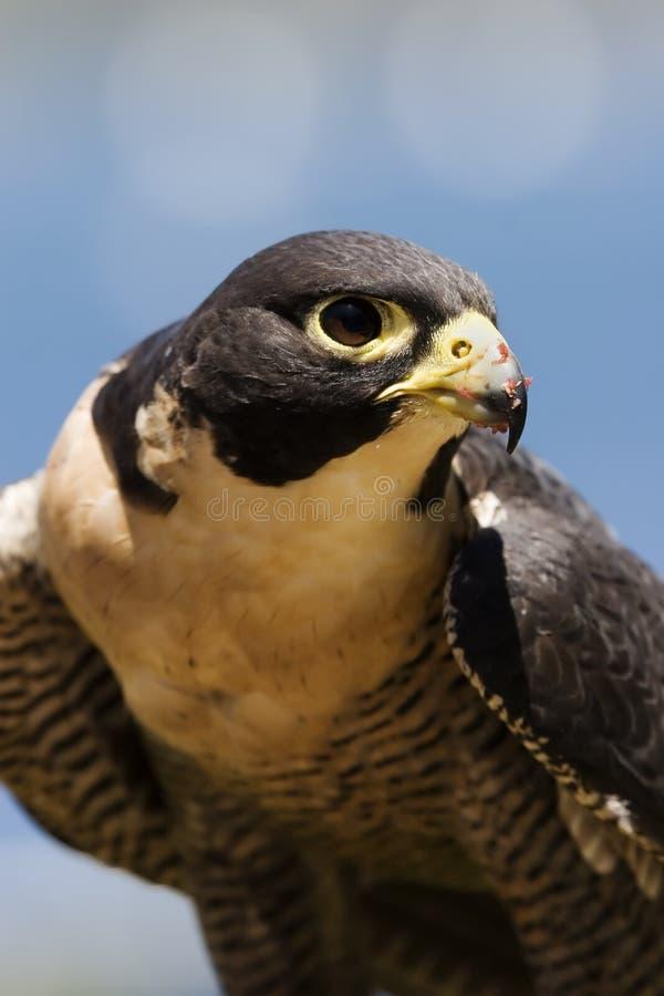 Falco eyed intelligente fotografia stock libera da diritti