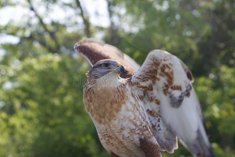 Falco ferruginoso fotografia stock