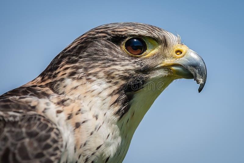 Download Falco ibrido immagine stock. Immagine di bello, fine - 55357625