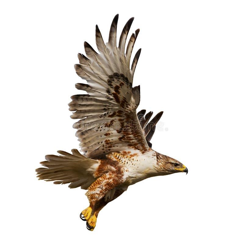 Falco isolato durante il volo immagine stock