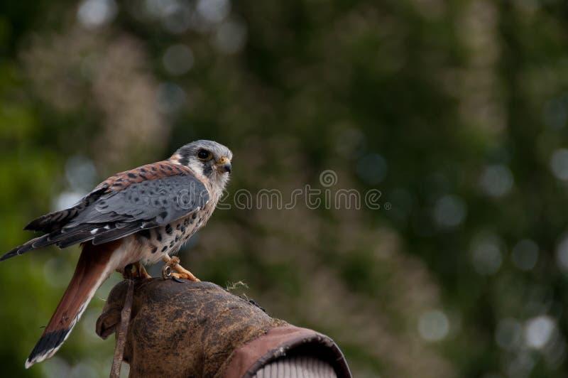 falco kestrel tinnunculus fotografia royalty free