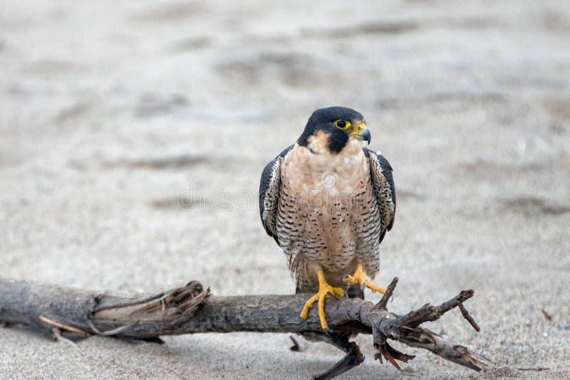 Falco messo rosso appollaiato su legname galleggiante sulla spiaggia del parco di stato di McGrath in Ventura California U.S.A. immagini stock