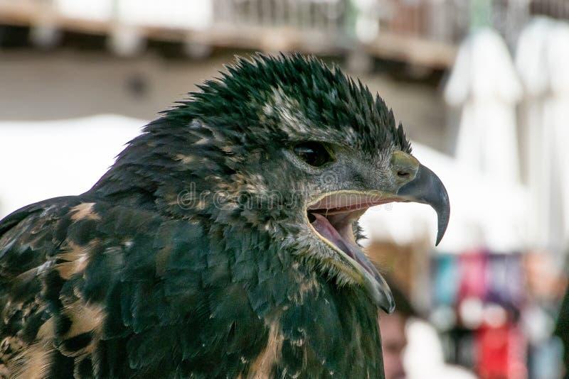 Falco nero con il becco aperto fotografia stock libera da diritti