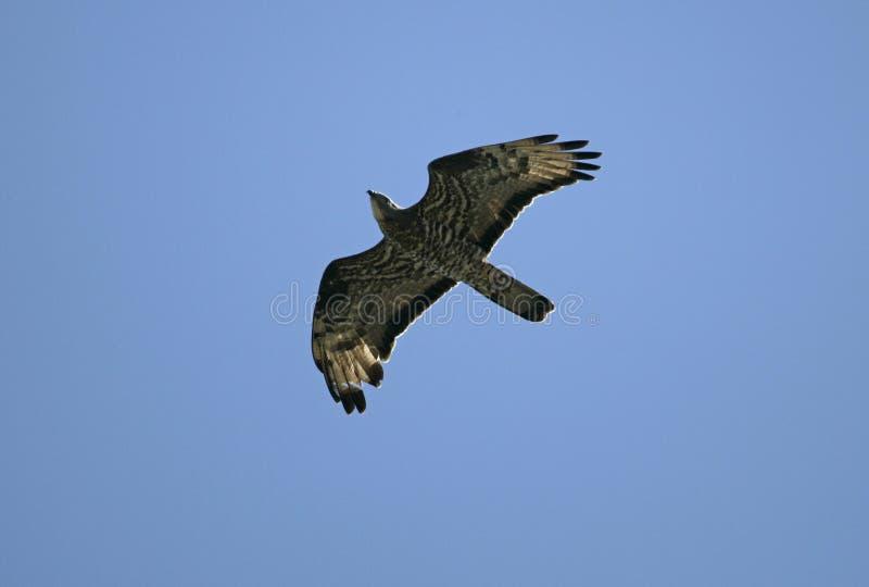 Falco pecchiaiolo, apivorus del Pernis fotografia stock libera da diritti