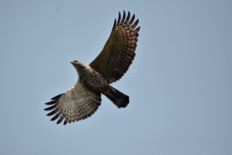 Falco pecchiaiolo orientale in volo fotografia stock libera da diritti