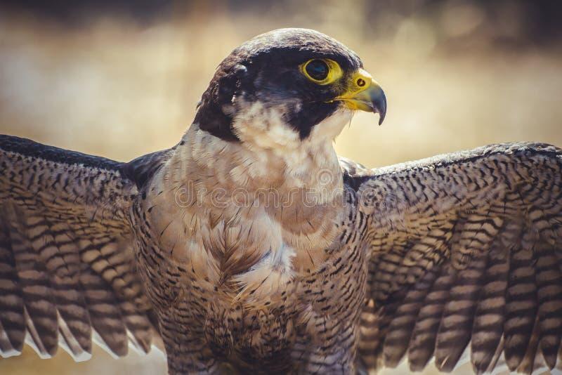 Falco pellegrino con le ali aperte, uccello dell'alta velocità fotografia stock libera da diritti