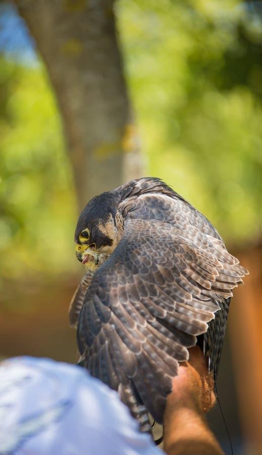 Falco pellegrino - peregrinus del falco fotografia stock