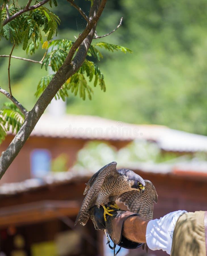 Falco pellegrino - peregrinus del falco fotografie stock libere da diritti