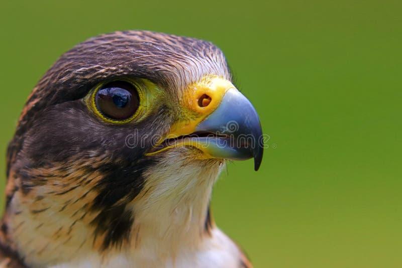 Falco peregrinus. Portrait of a peregrine falcon on a green background with copyspace. Latin name Falco peregrinus stock photos