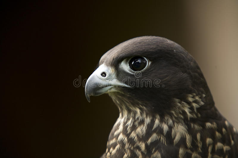 Falco Peregrinus Minor. A southern African subspecies of the more common Peregrine falcon that is found in the UK stock photography