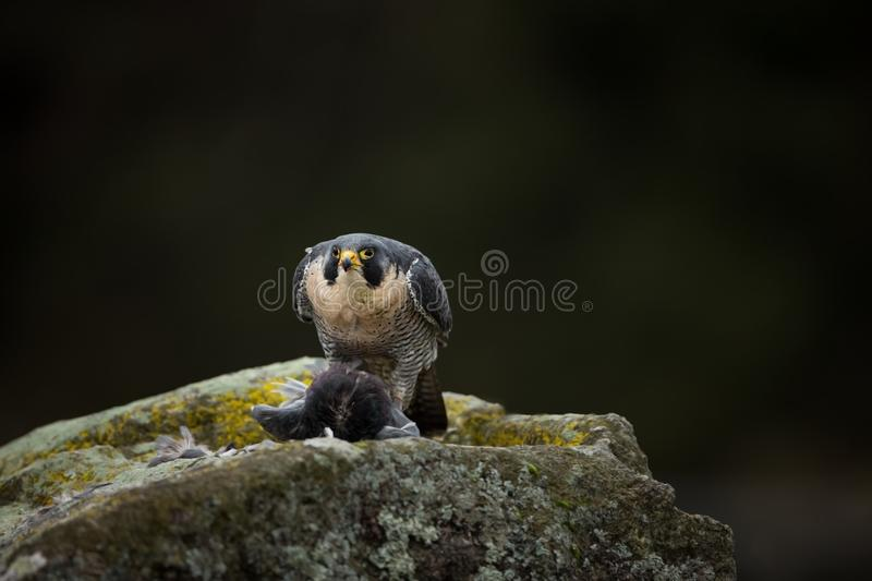 Falco peregrinus. Peregrine Falcon has a cosmopolitan extension. Naturally, it occurs not only in Antarctica, in parts of South America, New Zealand, and stock photography