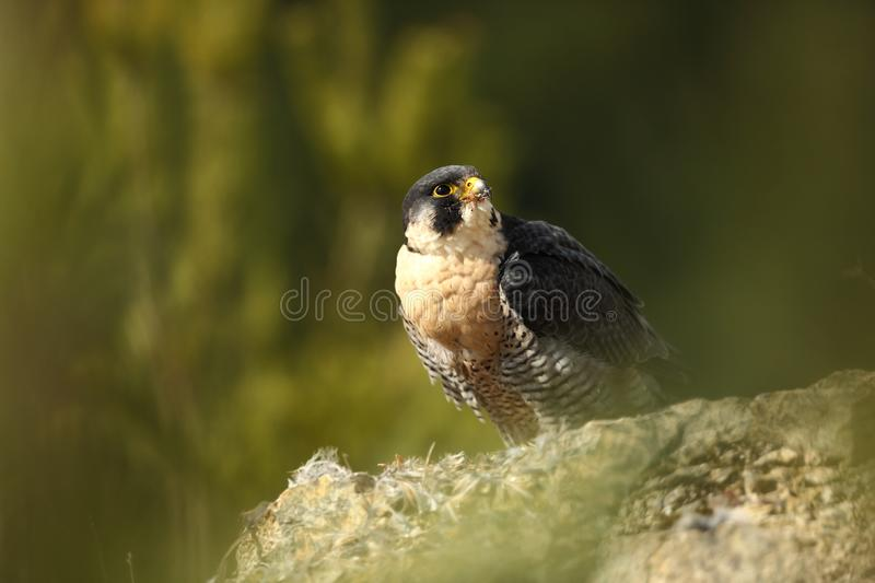 Falco peregrinus. Peregrine Falcon has a cosmopolitan extension. Naturally, it occurs not only in Antarctica, in parts of South America, New Zealand, and royalty free stock photography