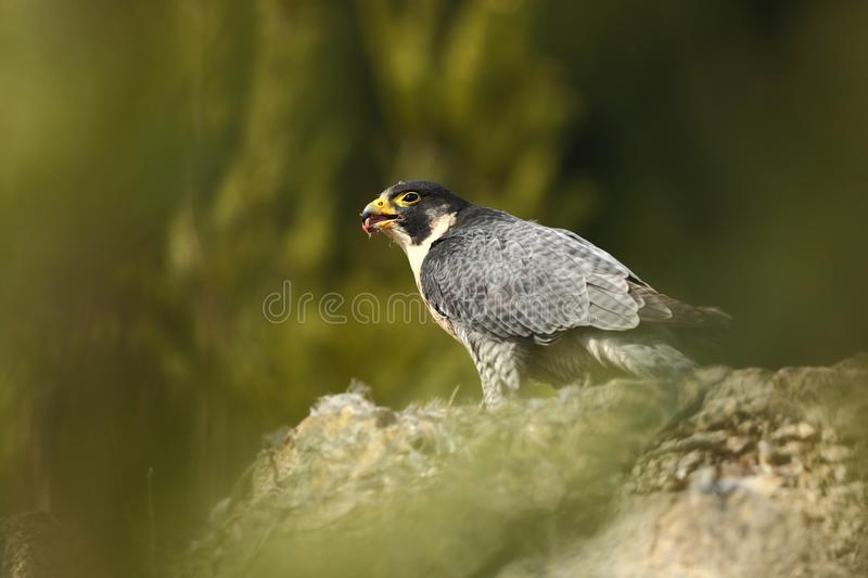 Falco peregrinus. Peregrine Falcon has a cosmopolitan extension. Naturally, it occurs not only in Antarctica, in parts of South America, New Zealand, and royalty free stock image