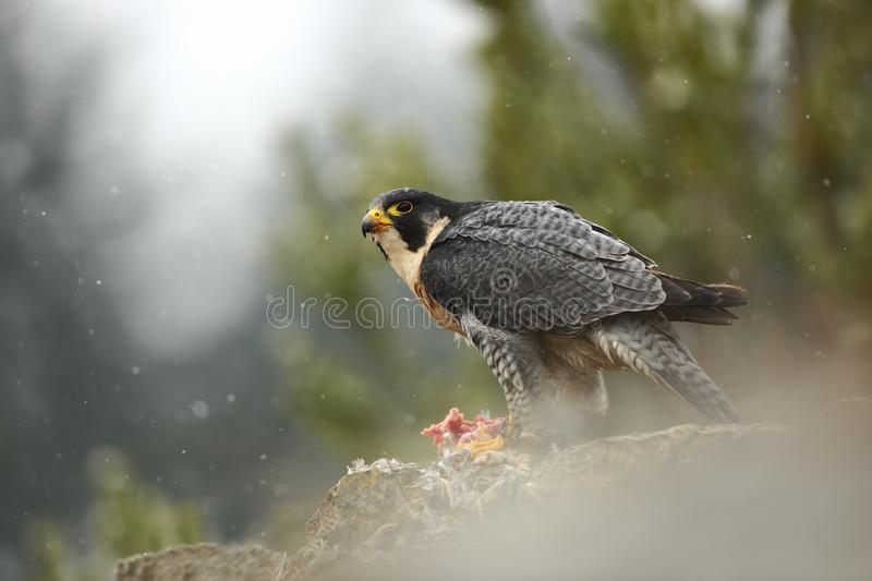 Falco peregrinus. Peregrine Falcon has a cosmopolitan extension. Naturally, it occurs not only in Antarctica, in parts of South America, New Zealand, and stock photos