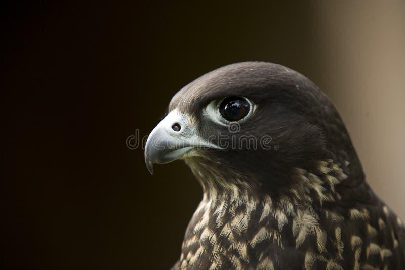 Falco Peregrinus Untersatz stockfotografie