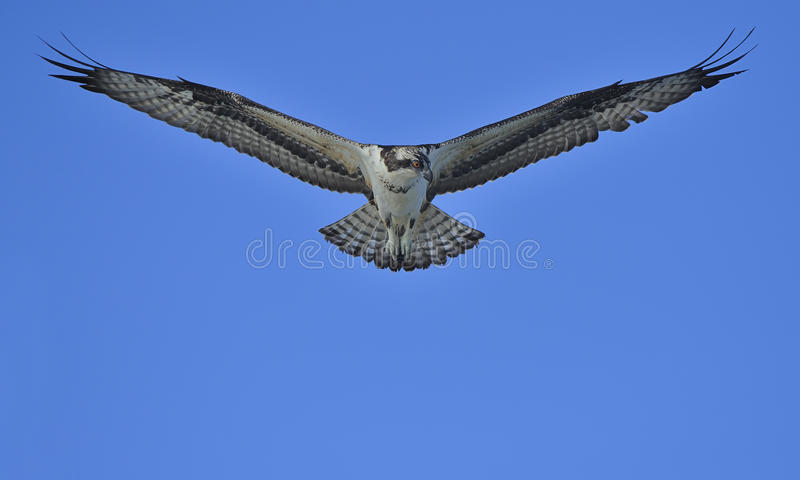 Falco pescatore fotografia stock