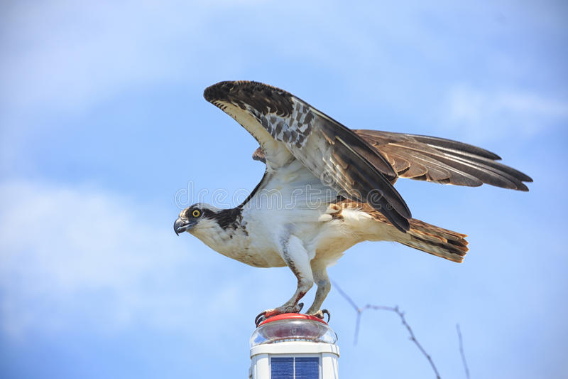 Falco pescatore appollaiato immagine stock libera da diritti