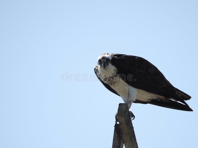Falco pescatore appollaiato sopra fotografia stock libera da diritti