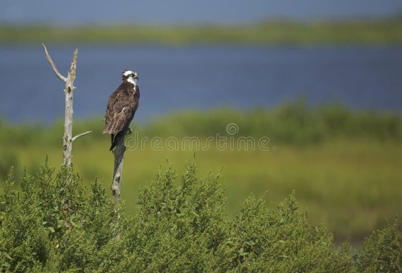 Falco pescatore appollaiato in un saltmarsh in NJ fotografie stock libere da diritti