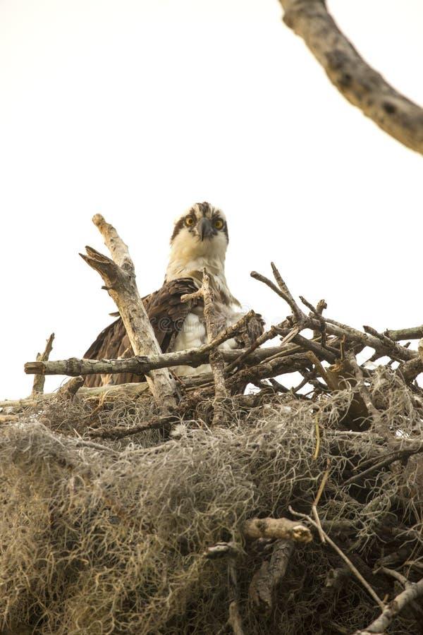 Falco pescatore che sta nel suo nido nei terreni paludosi di Florida fotografie stock