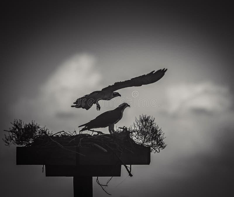 Falco pescatore che viene a casa tardi fotografie stock