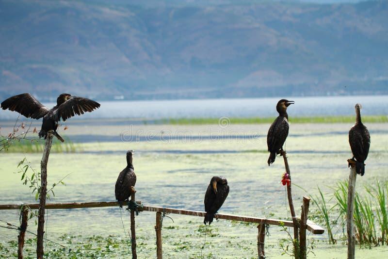 Falco pescatore in Dali Erhai Lake fotografie stock