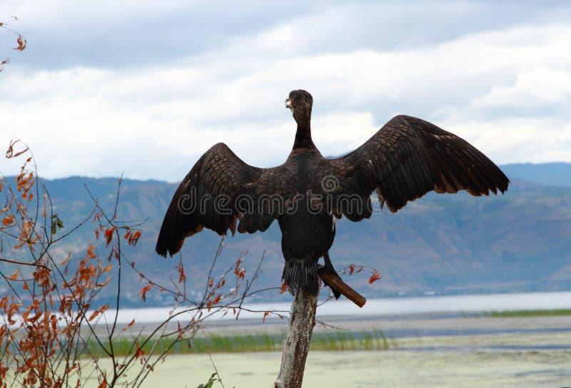 Falco pescatore in Dali Erhai Lake fotografia stock