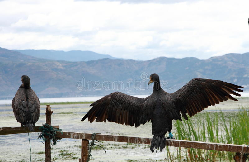 Falco pescatore in Dali Erhai Lake immagini stock libere da diritti