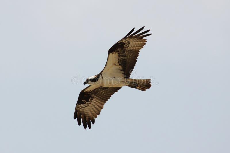 Falco pescatore di volo che cerca pranzo fotografia stock libera da diritti