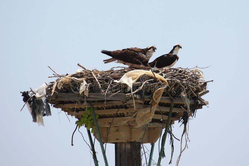 Falco pescatore due in nido che cerca pranzo immagine stock libera da diritti