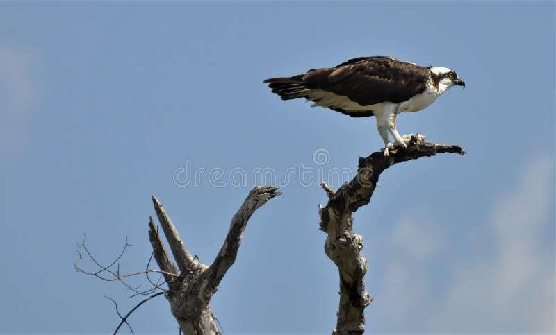 Falco pescatore nel Messico fotografie stock libere da diritti