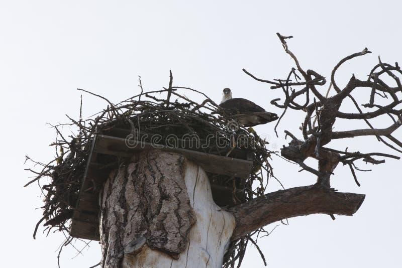 Falco pescatore nel suo nido fotografia stock libera da diritti